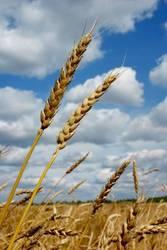 Продадим пшеницу 3 и 4 кл.