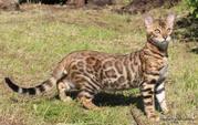 Бенгальские котята с подарками.