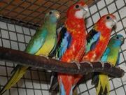 птенцов попугаев