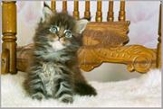 продаются котята мейн кун